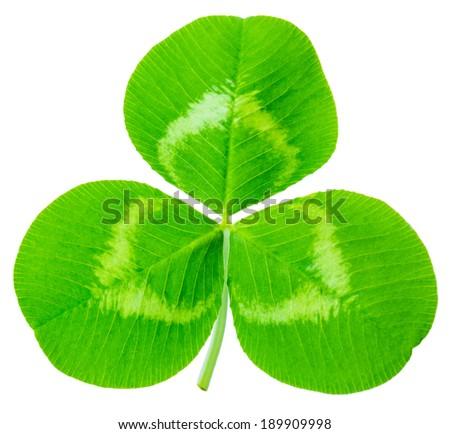clover leaves isolated on white background 1:1 macro lens shot - stock photo