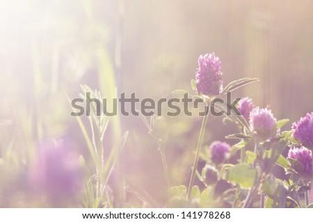 clover on field - stock photo