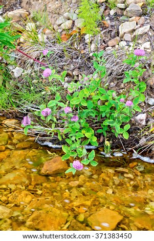 Clover pink on the shore of the river against the background of rocks and water - stock photo