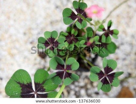 clovers - stock photo