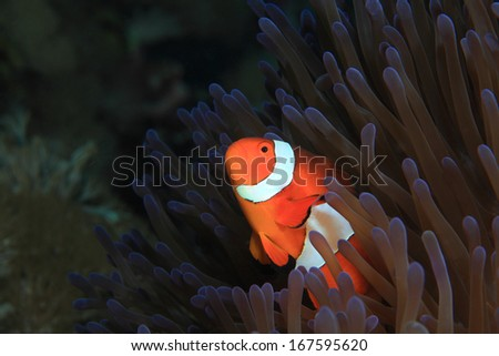 Clown anemonefish (Amphiprion ocellaris) and sea anemone  - stock photo
