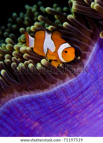 Clown anemonefish (Amphiprion percula) in a purple anemone. Taken in the Wakatobi, Indonesia - stock photo
