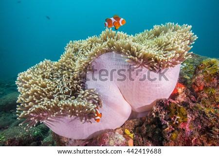clown fish - stock photo