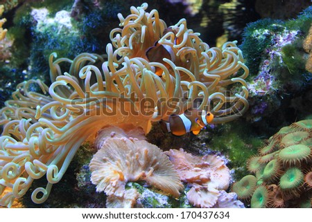 Clown fish and anemone - stock photo