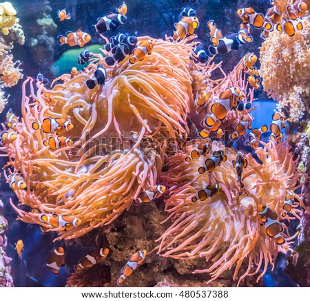 Clown fish congregate around a group of sea anemones on a tropical coral reef.
