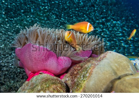 Clown fish family inside a pink violet anemone with  - stock photo