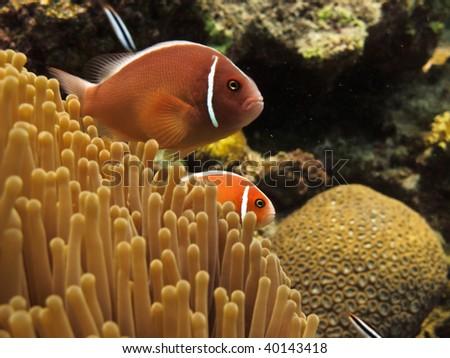 Clown fish Great Barrier Reef Australia - stock photo