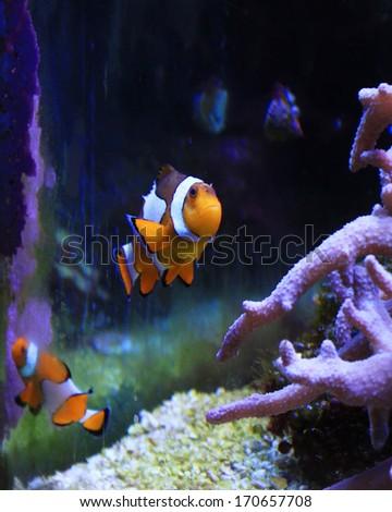 Clown fish in a tank - stock photo