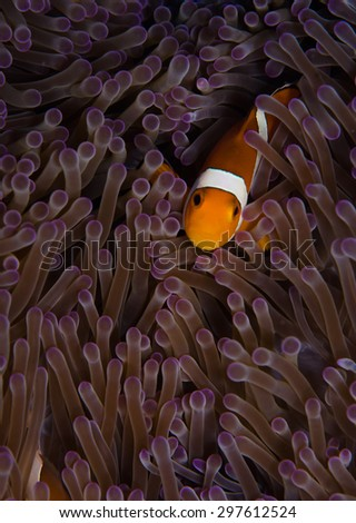 Clown Fish in anemone - stock photo