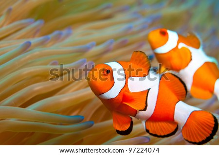 Clown fish in Indonesia - stock photo