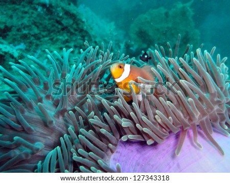 Clown fish in magnificent anemone on the coral reef - stock photo