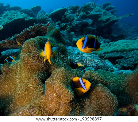 Clown Fish or Anemone fish in Pacific Ocean, Palau