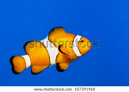 clown fish or anemone fish isolated on Blue background - stock photo