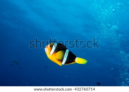 Clown fish portrait isolated on deep blue ocean background in maldives - stock photo