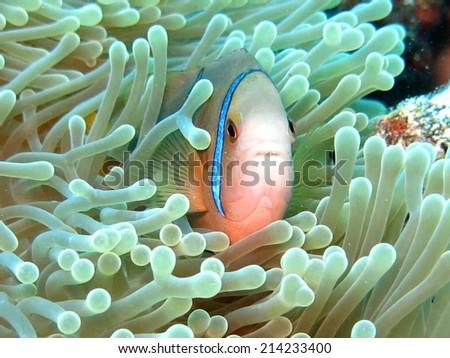 Clown fish, scuba diving Tahiti - stock photo