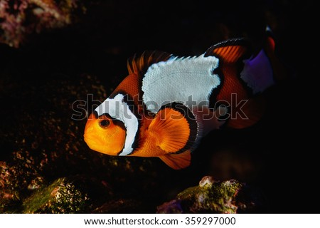 Clown fish staying close to his eggs along the reef  at night.