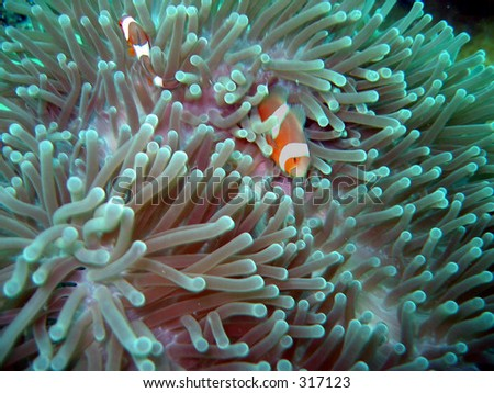 Clown fish swimming in anemone