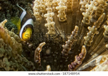 Clown fish while looking at you from anemone while diving in Indonesia