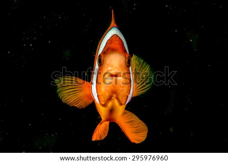 Clown fish while looking at you on the black background while diving in Indonesia - stock photo