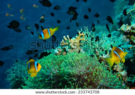 Clown fish with its young in the anemone site on a tropical coral reef - stock photo