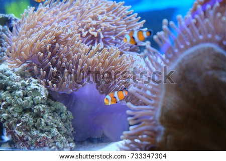 Clown fishes among purple coral in aquarium.