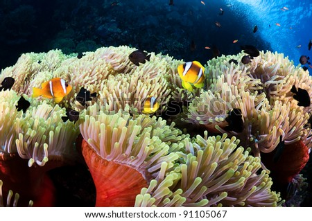 Clown fishes in his colorful host sea anemone.