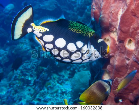 Clown Triggerfish , sponge and butterfly fish on a coral reef at Bunaken, Indonesia - stock photo