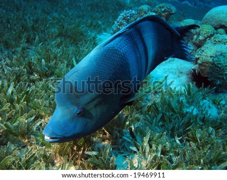 Clown Wrasse. shot in the Red Sea - stock photo