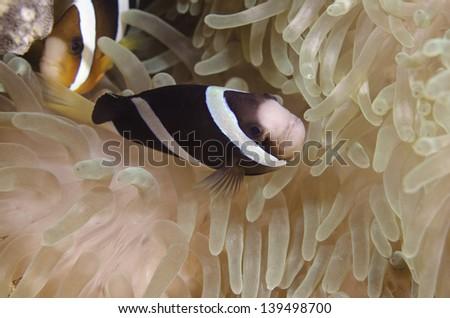 Clownfish - stock photo