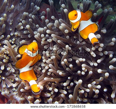Clownfish, Amphiprion ocellaris, in Lankayan island, Borneo. - stock photo