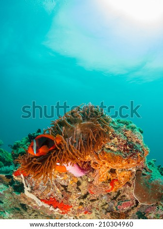Clownfish and host anemone on a tropical coral reef - stock photo