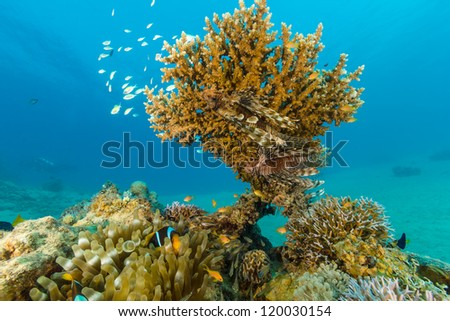 Clownfish and lionfish swim around a hard coral on a reef in the Red Sea - stock photo