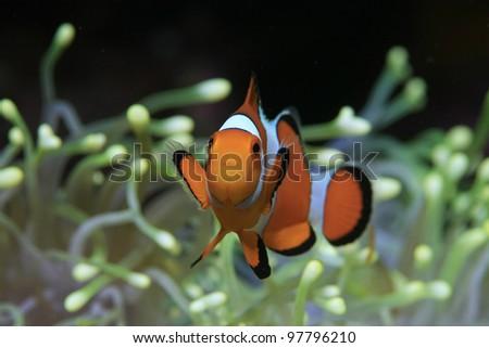 Clownfish and yellow sea anemone - stock photo