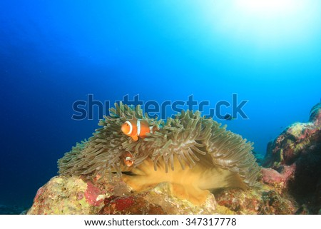 Clownfish (Anemonefish nemo fish) - stock photo