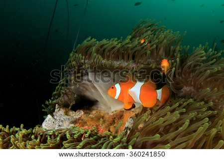 Clownfish anemonefish nemo fish anemone underwater coral reef - stock photo