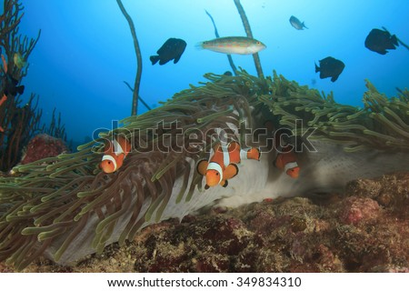 Clownfish Anemonefish Nemo fish in sea - stock photo