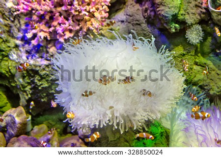 Clownfish fishes in coral fauna - stock photo