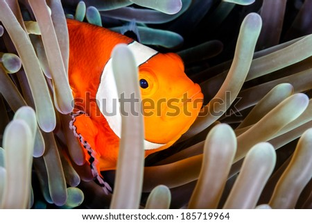 Clownfish hiding in an anemone on a tropical coral reef - stock photo