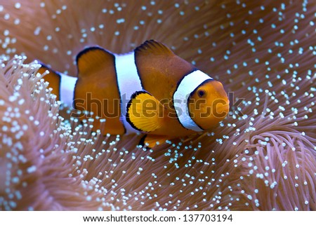 Clownfish hosting in sarcophyton coral - stock photo