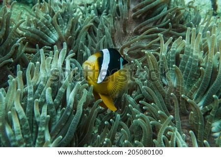 Clownfish in a sea anemone - stock photo