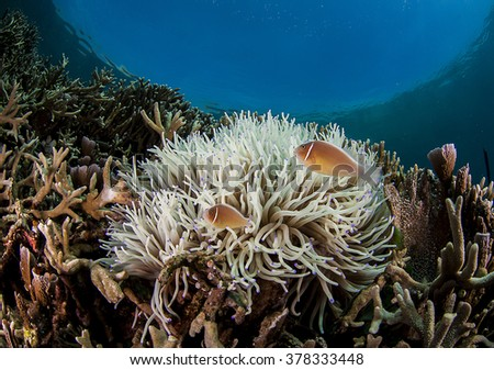 Clownfish in a tropical reef - stock photo