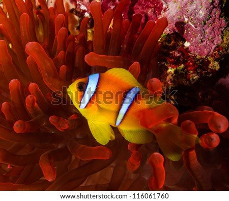 Clownfish in a vivid red anemone on a coral reef at the Blue Hole, Dahab, Egypt - stock photo