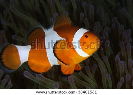 Clownfish in anemone.