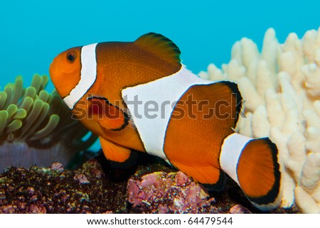 Clownfish in Coral Reef Aquarium - stock photo