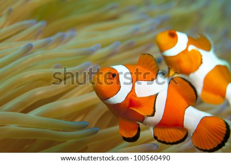 Clownfish in Indonesia