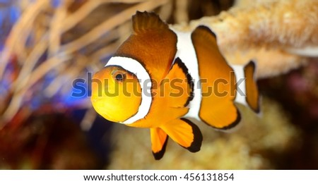 clownfish in marine aquarium - stock photo