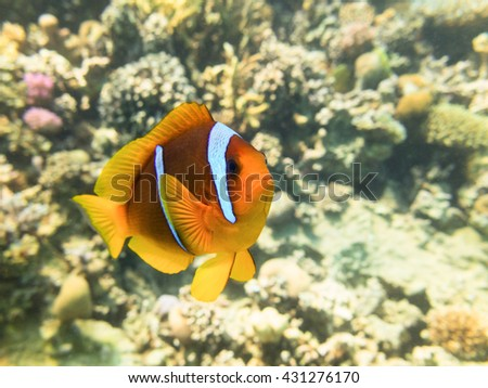 Clownfish. Marine Life in the Red Sea. Egypt