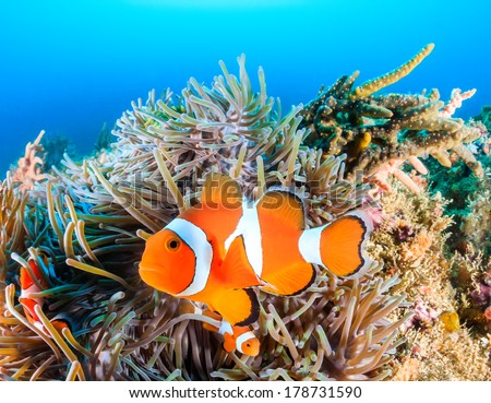 Clownfish swim around their host anemone with blue water behind - stock photo