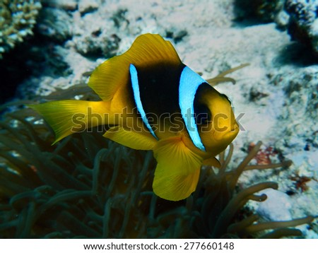 clownfish with anemones - stock photo