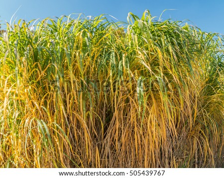 Miscanthus stock images royalty free images vectors for Giant ornamental grass